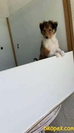 Collie-Lassie 3