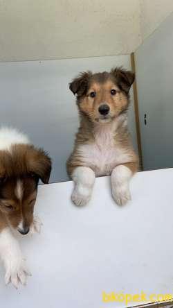 Collie-Lassie 1