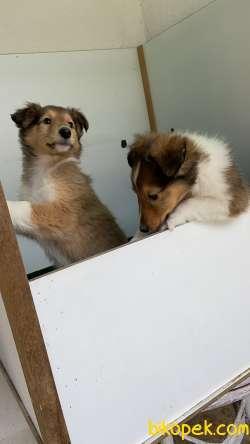 Collie-Lassie 2