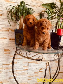 Dark Red Toy Poodle Orjinal Tüy Dökmeyen Rusyadan
