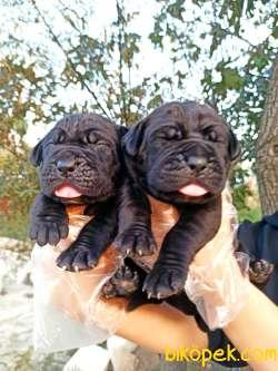 Dişi Blue-Siyah Cane Corso Yavrular 3