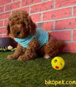 Dişi-Erkek Red Brown Toy Boy Poodle Bebekler