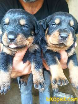 Dişi Irk Garantili Rottweiler Yavrular 1