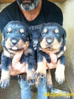 Dişi Irk Garantili Rottweiler Yavrular 2