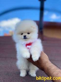 Dişi Pomeranian Boo Yavrular 4