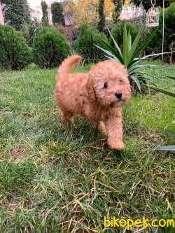 Dişi Toy Poodle Yavru 2