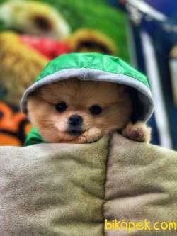 Efsane Pomeranian Boo Erkek