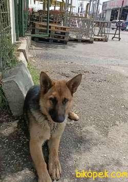 Eğitimli Scr Li Alman Çoban Köpeği