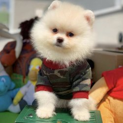 -Eksiksiz Belgeli Orjinal PomeranianBoo