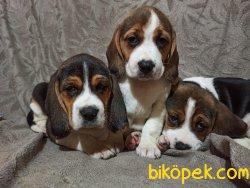 Elizabeth Beagle Yavrularımız