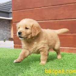 En Güzel Golden Retriever Yavrulari