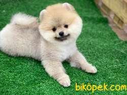 En Güzel Pomeranian
