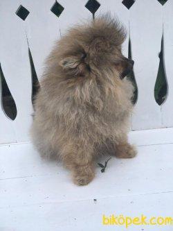 En Güzel Pomeranianlar