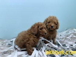 En Güzel Red Toy Poodle Yavrularımız
