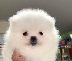 En Güzel Yavru Pomeranian
