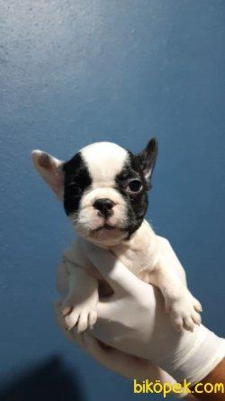 En İyi Kalite French Bulldog Bebekler