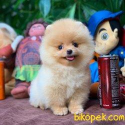 En Iyi Kalıte Tcup Pomeranian Yavrularımız