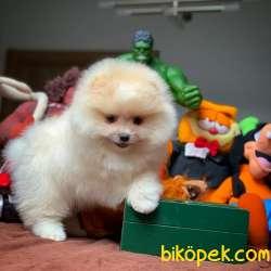 En Iyi Kalıte Tcup Pomeranian Yavrularımız 5