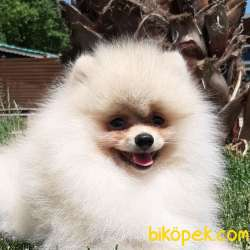 En Sevimli Pomeranian Yavruları Sizleri Bekliyor 1