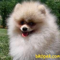 En Sevimli Pomeranian Yavruları Sizleri Bekliyor 4