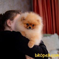 En Tatlı En Kaliteli Boo Pomeranian Teddy Bear
