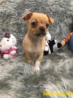 Erkek Bebek Chihuahua 4