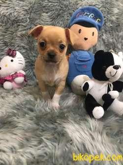 Erkek Bebek Chihuahua