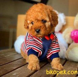 Ev Ortamına Uygun Toy Poodle  Yavrularımız 4