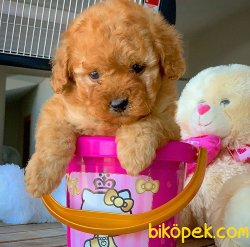Ev Ortamına Uygun Toy Poodle  Yavrularımız 3