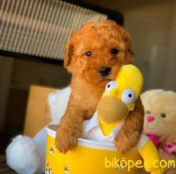 Ev Ortamına Uygun Toy Poodle  Yavrularımız 5