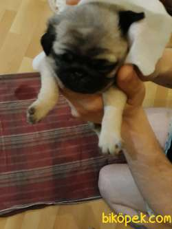 Ev Ortamında Büyütülmüş Pug Yavrular 3