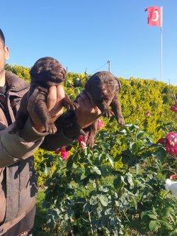 Labrador Redriver Çok Sevimli Yavrularım