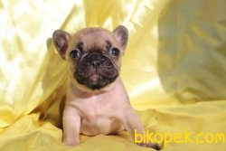 Fawn French Bulldog Yavrular