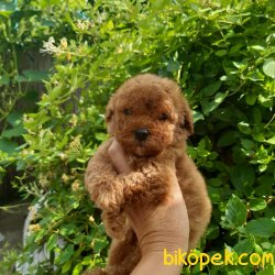 Fci Secereli Anne Babadan Red Toy Poodle