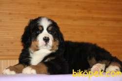 Fci Şecereli Bernese Mountain Dog 2