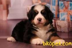 Fci Şecereli Bernese Mountain Dog 4