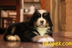 Fci Şecereli Bernese Mountain Dog 3