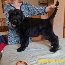 Fci Şecereli Black Russian Terrier 5