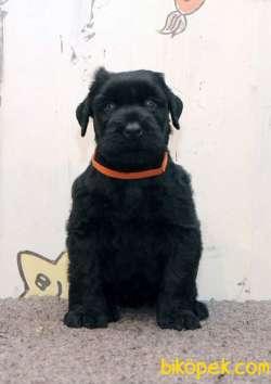 Fci Şecereli Black Russian Terrier 2