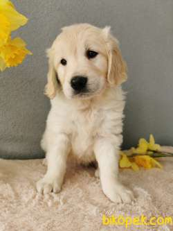 Fci Şecereli Golden Retriever