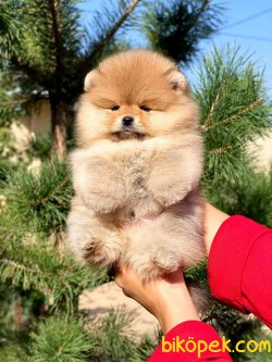 Fci Secereli Orjinal Teddy Bear Pomeranian Boo