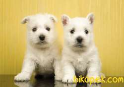 Fci Şecereli West Higland White Terrier
