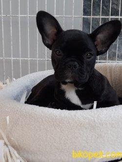 Satılık French Bulldog Güvenilir Adresten