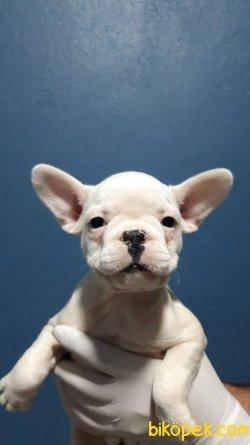 French Bulldog Bebeklerimiz
