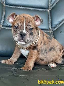 French Bulldog Blue Merle Yavruları 4