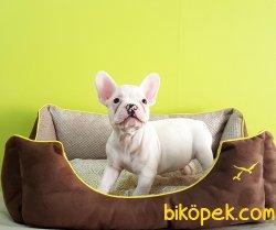 French Bulldog  Yavrular 2