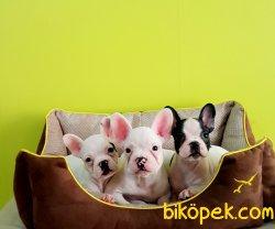 French Bulldog  Yavrular 4
