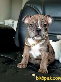 French Bulldog  Yavruları  (EVE TESLİM)