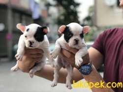Frensız Bulldog Yavrularımız