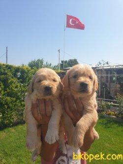 Golden Retriever Bebişler  Üretim Çiftliğinden